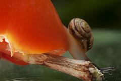 Passion for Passion fruit (gelein.zaamslag) Tags: holland nederland netherlands zeeland zeeuwsvlaanderen zaamslag natuur nature fauna slak snail passievrucht passionfruit macro nikon nikond5000 geleinjansen insecten insects insect oranje orange