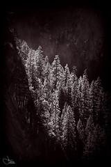 Painted-Pines (Harned-Pix) Tags: pines trees sunlight filteredsunlight blackandwhite bw artistic yosemitenationalpark yosemite park nationalpark scenic scenery glow hazemist