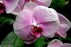DSC_0011 (Fabio Brenna) Tags: flower flowers fiori fleurs flores colors orchid orchidea orchidee orchids orqudeas orchides