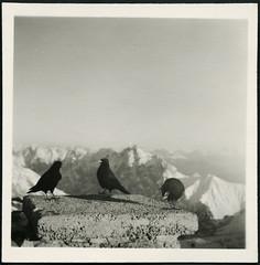 Archiv H882 Bergdohlen / Alpendohlen auf der Zugspitze, 1949 (Hans-Michael Tappen) Tags: archivhansmichaeltappen alpendohlen bergdohlen zugspitze 1949 singvogelart rabenvogel hochgebirge 1940s 1940er