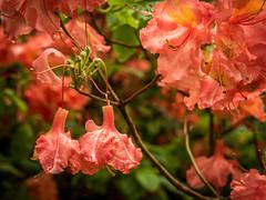 Rhododendron (olipennell) Tags: blte botanischergarten mnchen nymphenburg pflanze rhododendron