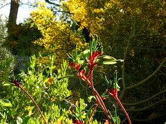 A favorite (Lesley A Butler) Tags: australia kingspark wa wildflowers perth