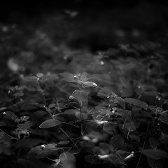 Thicket Details 017 (noahbw) Tags: captaindanielwrightwoods d5000 dof nikon abstract blackwhite blackandwhite blur bw droplets flowers forest landscape leaves light monochrome natural noahbw shadow square summer water waterdrops wet woods