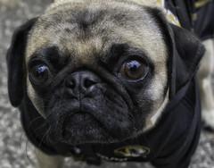 TowerGroveFarmersMarket2016_SAF6312-2 (sara97) Tags: canine dog furryfriend missouri otisthepug outdoors pet petportrait photobysaraannefinke pug saintlouis towergerovepark towergrovefarmersmarket copyright2016saraannefinke