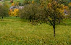 Herbststimmung im Obstgarten (balu51) Tags: morgenspaziergang spaziergang frh herbstmorgen herbst herbstlich obstgarten apfelbaum grn rot gelb morningwalk morning early autumn fall landscape orchard appletree red green yellow meadow oktober 2016 copyrightbybalu51