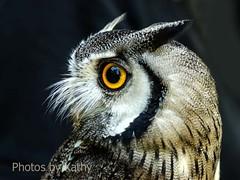 DSC_1713_edited-1s (Photos by Kathy) Tags: cincinnatizoo animals zoo zoos nature kathymoore nikon2000 bird owl whitefacedowl