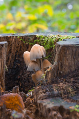 Autumn Stools (LKB_Photography) Tags: autumn toadstools mushrooms loughborough leicestershire canon5d closeup photography photo uk england woodland