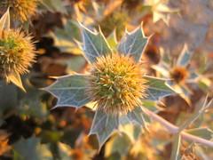 am frhen Morgen leuchtet die Stranddistel besonders schn (evioletta) Tags: stranddistel pflanze strand wangerooge august