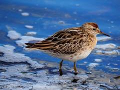 Sharp-tailed sandpiper (juv) (Hone Morihana) Tags: westerntreatmentplant shorebirds migratorybirds