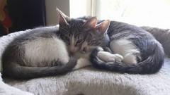 2015- Pam & Violet 02 (teresamarkos) Tags: violet pam cat cats kitten kittens felines feline