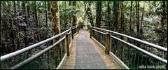 Dorrigo (Mike Buick) Tags: horizon202 film panorama panoramic forest bush boardwalk green wide 35mm