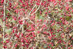 Redwing (Andrew_Leggett) Tags: redwing turdusiliacus bird berries autumn outdoor