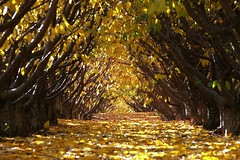 orchard-cathedral (JeremyOK) Tags: fall autumn orchard yellow leaves rows golden cherry cherries summerland bc okangan