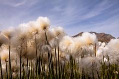 Dream of Sheep (Laurent Moose) Tags: valsavarenche valledaosta italien eriophorum wollgras italia italy mountain wool wolle
