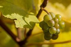 DSC_3234 (Marlon Fried) Tags: blatt bltter laub wein reben makro bokeh leaf leaves vine macro trauben grapes herbst fall autumn