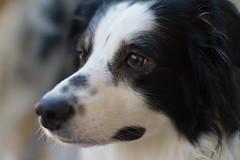 Flash (runeurope) Tags: australian sheperd blackandwhite australiansheperd australiansheperdblackwhite dog hund rüde male pet