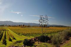 20161108_17927 (Tom Spaulding) Tags: napavalley autumn california ca silveradotrail centuryplant