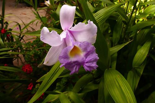Sobralia Veitchii primary hybrid orchid