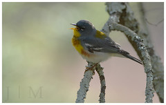 Northern Parula - Monroe County (PA) (BROAD-WINGED BIRDING) Tags: northernparula woodwarbler warbler springmigration headquartersbuilding delawarewatergap monroecounty pennsylvania april 2015