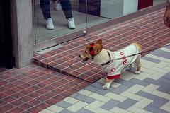 red sox (edwardpalmquist) Tags: redsox harajuku shibuya tokyo japan travel fashion dog pet animal goggles outdoors city street urban