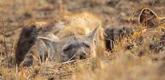 Hyena pup (AndreDiener) Tags: hyena hyenapup wild wildanimal kruger park krugernationalpark