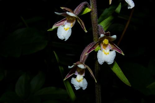 Epipactis palustris, Orchid