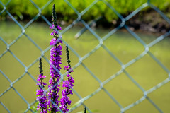 Flower beneath the fence (Cristian-Z) Tags: aroma background beautiful beauty bloom blooming blue bush color colorful countryside farming fence field floral flower focus fragrance french garden green growth herb herbal landscape lavender lines medicine natural nature outdoor perfume plant provence purple rural scented season sky springtime summer sunlight sunset violet wild