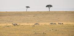 African Landscape (perkster24) Tags: landscape landscapephotography masaimara masaimaranationalreserve masai wildlifephotography wildlife wild wildanimal savannah nature naturephotography africa african kenya africanlandscape safari gamedrive game arcaciatree