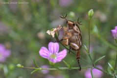 Scarab Beetle, Scarabaeidae (jialiar) Tags: scarabaeidae scarabbeetle beetle antennae 1855mm reverselens macro coleoptera