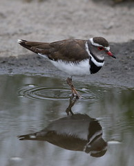 Three-banded Plover (or Three-banded Sandplover), Charadrius tricollaris, at Marievale Nature Reserve, Gautent, South Africa (Derek Keats) Tags: nature plovers taxonomy:binomial=charadriustricollaris naturereserves threebandedplover birdwatching taxonomy:family=charadriidae wetland charadriustricollaris naturereserve birds birding charadriidae threebandedsandplover bird