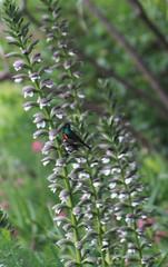 935_bewerkt-1 (savare) Tags: acanthus southern doublecollared sunbird southafrica zuidafrika