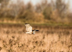 Short Eared Owl (ian._harris) Tags: nikon tamron150600 nature d7200 naturaleza outside bird fly owl hunting