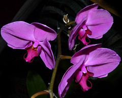 Phalaenopsis Unknown [Fire Purple] hybrid orchid, 1st bloom continues  6-15 (nolehace) Tags: sanfrancisco orchid flower fire spring purple 1st phalaenopsis unknown bloom hybrid 615 nolehace fz35