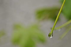 Wein (Uli He - Fotofee) Tags: nikon rosen makro rosenblatt garten uli ulrike regen wein frauenmantel sommerregen ringelblume hergert prachtwinde nachdemregen nikond90 gartenparadies fotofee amtagalsderregenkam ulrikehe ulrikehergert ulihe