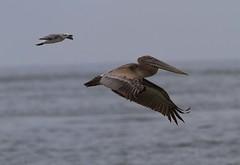 Brown Pelican and tag along (AllHarts) Tags: seagull brownpelican inexplore grandislestatepark louisianadelta avianexcellence naturescarousel elmersisland