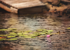 lake lilly (ms_shell) Tags: lake water dock soft waterlily delicate 101pictures