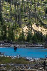 A moose! A real bona fide moose!
