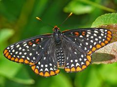 Baltimore Checkerspot - Euphydryas phaeton (midimatt) Tags: wisconsin butterfly wi newburg saukville euphydryasphaeton baltimorecheckerspot ozaukee riveredgenaturecenter mattdrollinger matthewdrollinger
