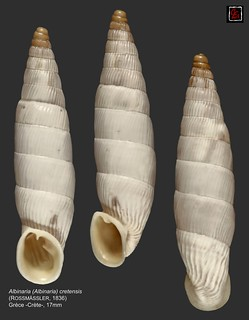 albinaria (albinaria) cretensis5 grece 17mm