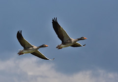 Greylag geese flying 1 (Tim Harris1) Tags: bird geese norfolk snettisham rspb greylaggoose nikond7100 nikkor80400afs