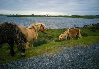 Ponies at Loch Skipport