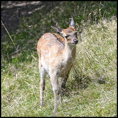 Faon (wilphid) Tags: montagne animaux parc montblanc sauvage hautesavoie faune leshouches parcdemerlet