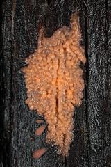 slime mold plasmodium (myriorama) Tags: slimemold springtails plasmodium collembola easternredcedar dictydiaethaliumplumbeum