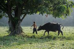 MIA_6843 (yaman ibrahim) Tags: life morning boy pet man tree green grass leaves animal lights kid buffalo village air fresh dew malaysia rays kampung malay terengganu eastcoast kualaterengganu