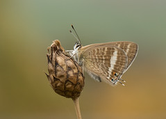 Long-tailed Blue - Lampides boeticus (Gary Faulkner's wildlife photography) Tags: longtailedblue sussexbutterflies