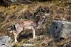 Frère ou copin ? (La Tarrask) Tags: switzerland suisse swiss animaux valais cerf faon valdentremont