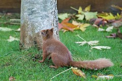 KMH_3643 (Island Snapper) Tags: redsquirrel iow wight shanklin