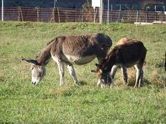 """DSCF8489 Parco Nord - Una fattoria! Niente """"Brusca e Striglia""""! (Franz Maniago) Tags: tori cavalli toro mucche asinello asini bovini animalidomestici animalidafattoria bruscaestriglia animalidigrossataglia"""