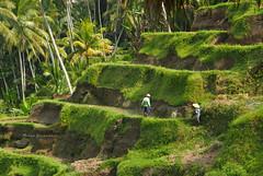 Bali, Indonesia (Murad Yuzbashov) Tags: people bali sun nature palms indonesia workers rice harvest tropical local ricefield ubud localpeople terrase beautifulnature pesonaindonesia