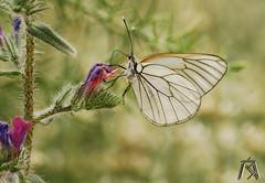 Pieridae: Aporia crataegi (Apusapus20) Tags: pieridae aporia crataegi